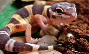 YoungLeopardGecko