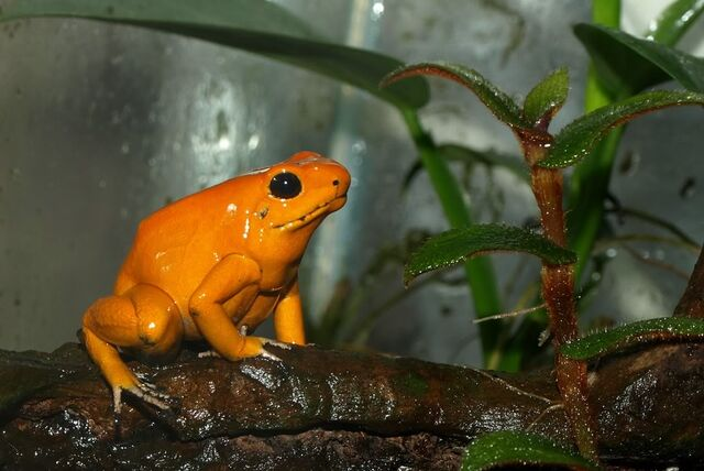 File:Orange Terribilis.jpg