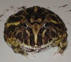 File:Cranwell's horned frog 02.jpg