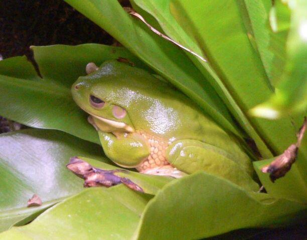 File:Bromeliad Tree Frog.jpg