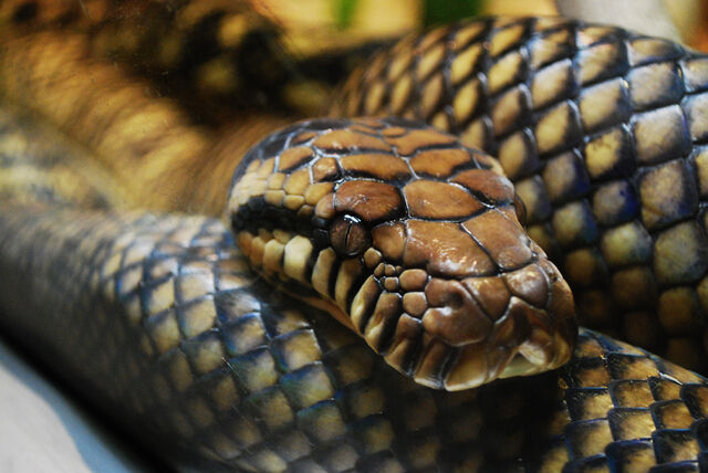 File:Am python.jpg