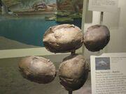 Echmatemys Wyomingensis