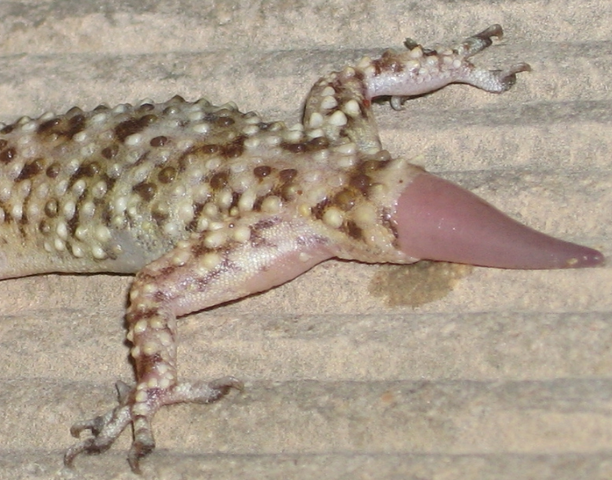 File:Geckostub.png