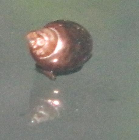 File:Vivarium snail top view.png