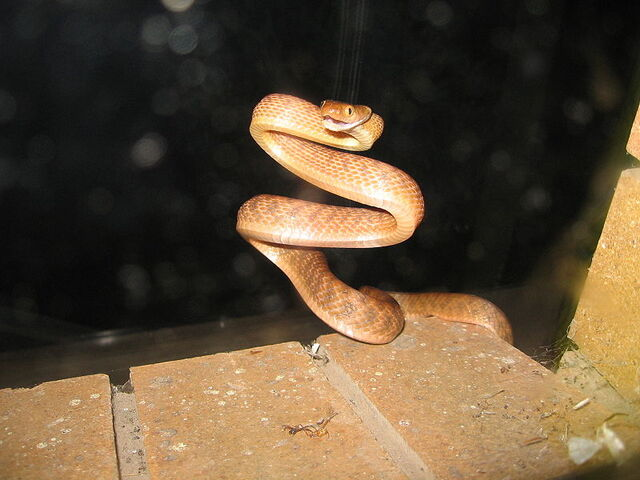 File:Boiga irregularis coiled.jpg
