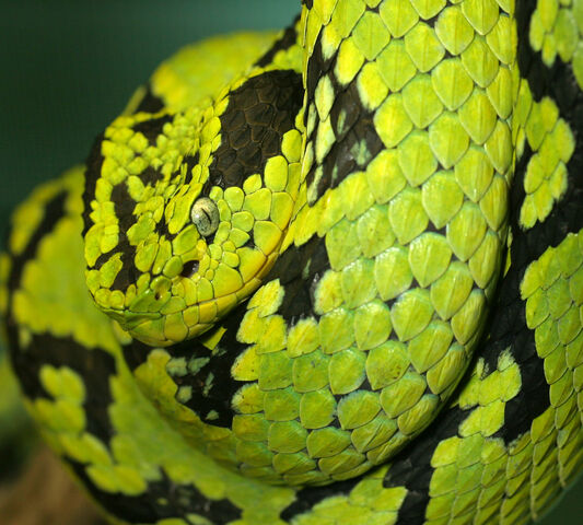 File:Yellow Blotched Palm Pitviper.jpg
