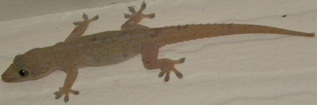 File:Common House Gecko.jpg