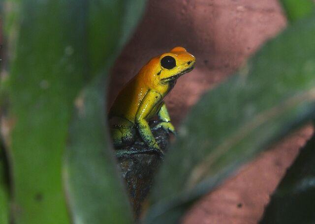 File:Golden Frog 20.jpg