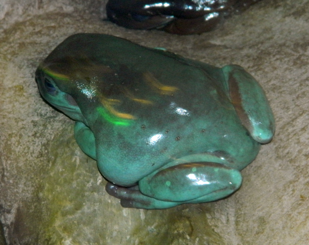 File:White's Tree Frog.png