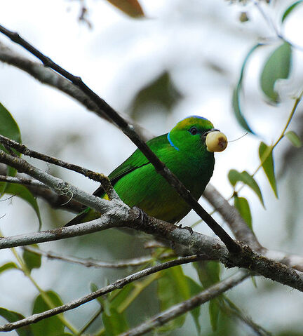 File:Golden-browed Chlorophonia.jpg