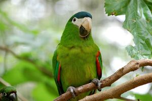 Diopsittaca nobilis -Parque das Aves, Foz do Iguacu, Brazil-8a