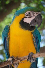 396px-Ara ararauna -Blue-and-yellow Macaw in a tree