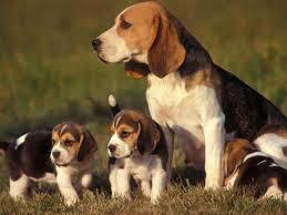 File:Beagle1.jpg