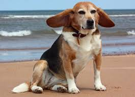 File:Beagle3.jpg