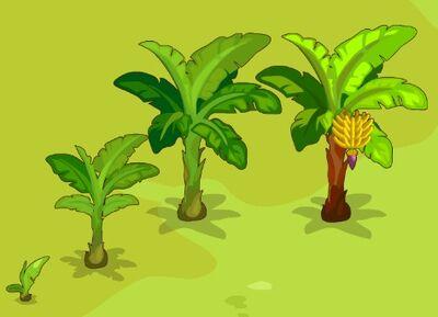 Banana-Growth