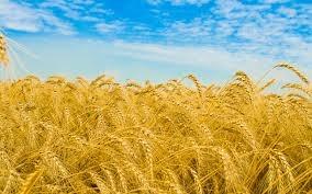 File:Wheat.jpg