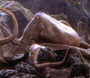 Tn giant octopus65
