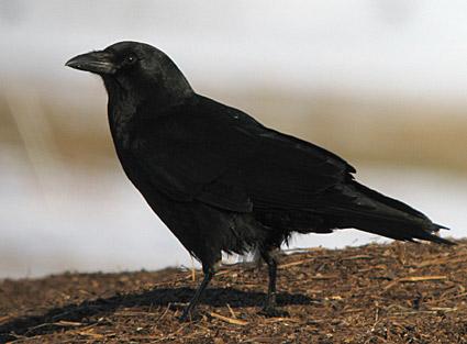 File:American crow 7.jpg