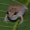 Npc - Antilles Frog