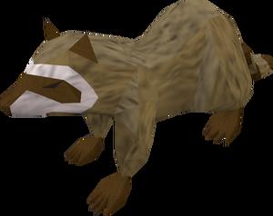 Raccoon (brown) pet
