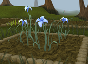 White lily5