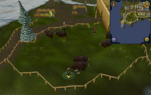 Scan clue Fremennik Isles Neitiznot inside yak pen