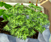 Stoneberry bush
