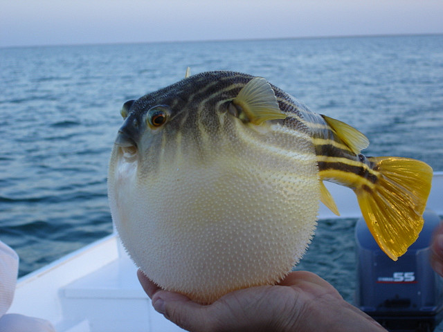 File:Puffer-fish-facts-for-kids.jpg
