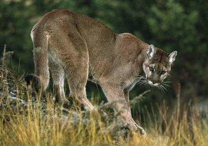 File:Cougar8.jpg