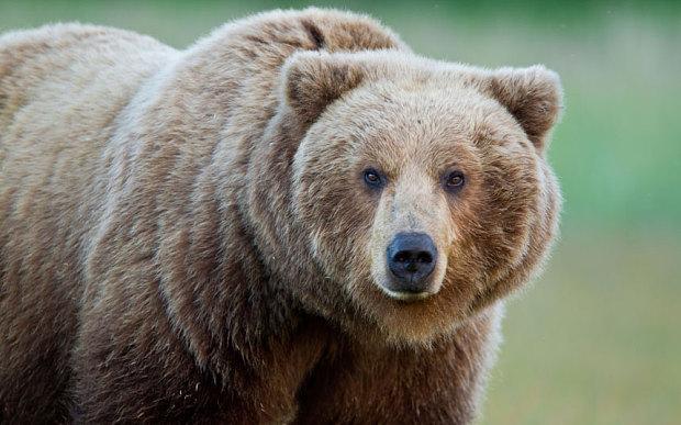File:Bear 3017350b.jpg