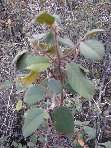 File:Starr 071226-0866 Rhamnus californica.jpg