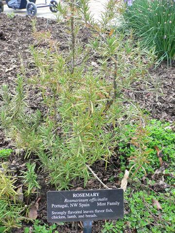 File:Rosmarinus officinalis.jpg