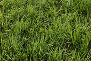 Lilyturf Liriope spicata Patch 3008px