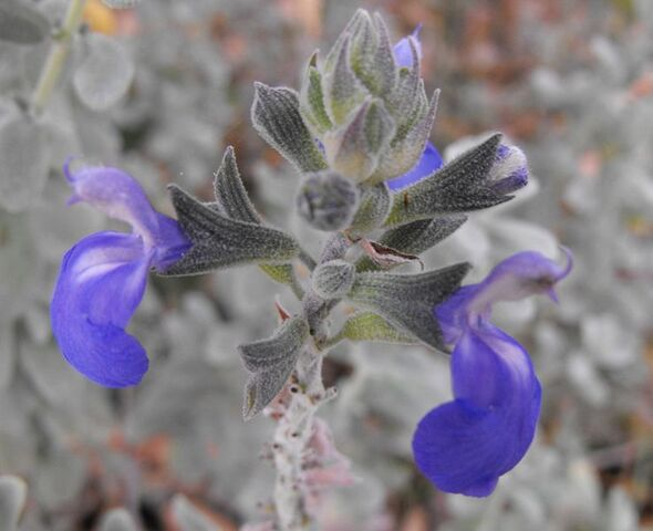 File:738px-Salviachamaedryoides2.jpg