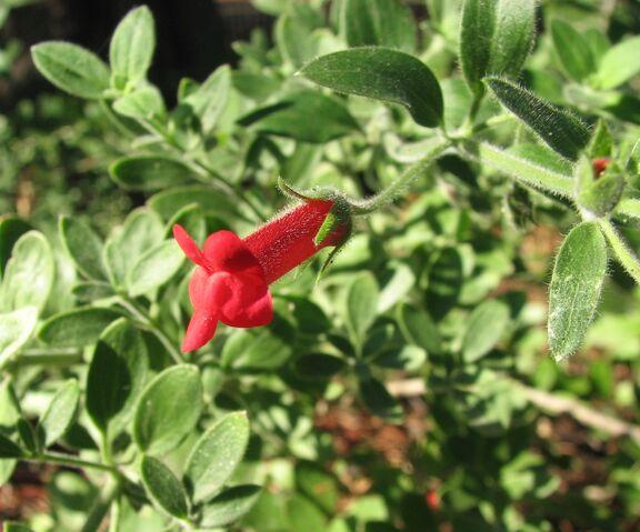 File:Galvezia speciosa.jpg