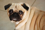 Pug with bulging eyes