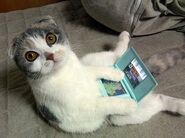 Scottish fold playing video games