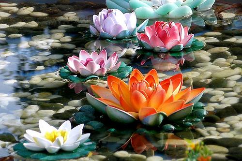 File:2008-0217 (156) Lotus Flower.jpg
