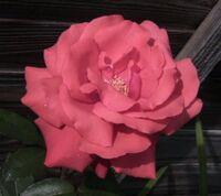 Rose951