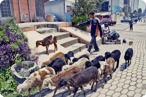 File:Goats on the street.jpg