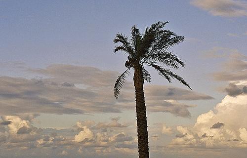 File:Lonsome palmtree.jpg
