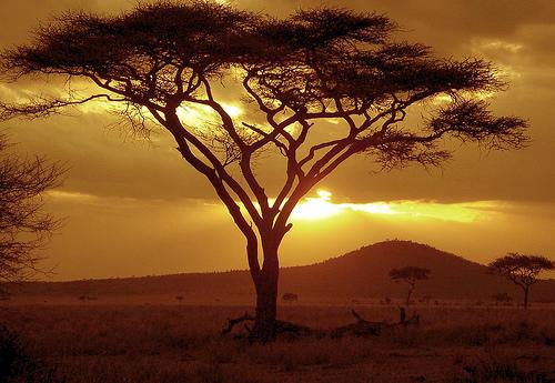 File:Sunset on Acacia Tree.jpg