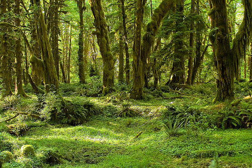 File:Olympic National Park - Maple Glade Trail.jpg