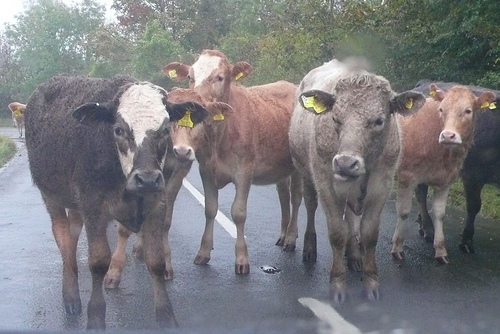 File:Wet cows on my way to work this morning.jpg