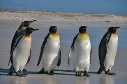 Pinguine auf der Falkland-Insel