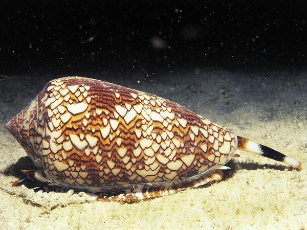 File:7. Cone Snail.jpg