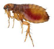 5. Flea (Jumpers)