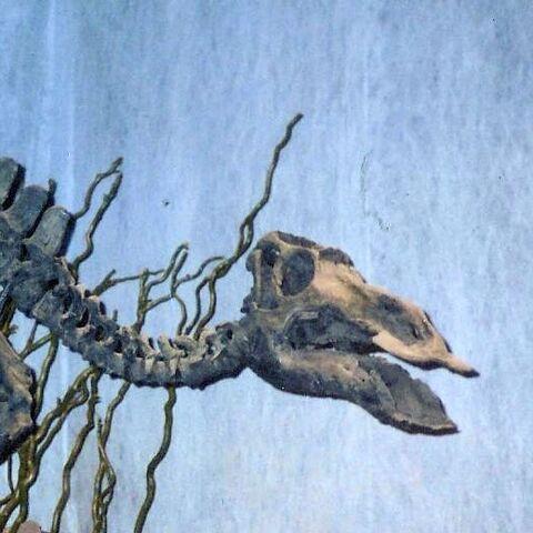 File:Maiasaura skeleton Cropped.jpg