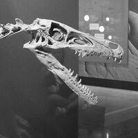 """Velicoraptor (""""swift seizer"""")"""