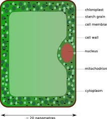 File:Plant Cell.jpg